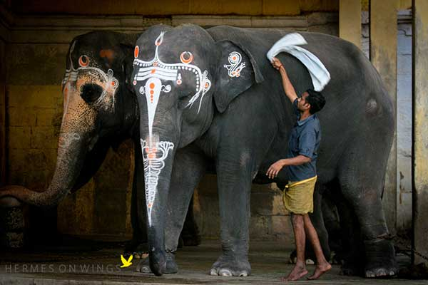 Decorated-Indian-Elephants-South-India