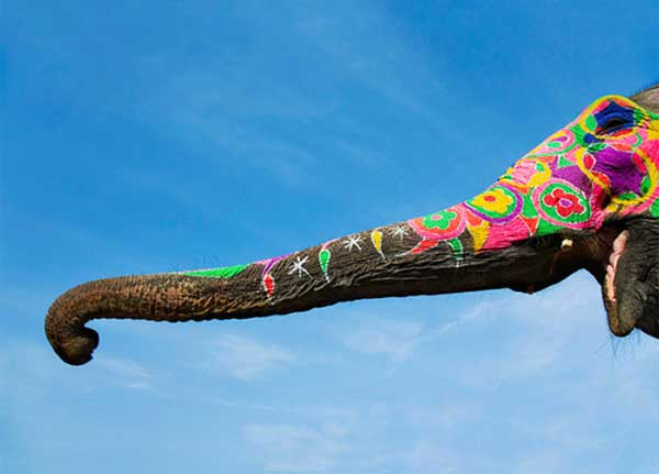 Decorated-Indian-Elephants-Trunk